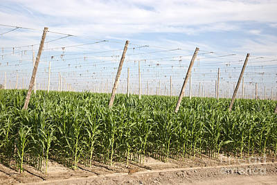 Crop Rotation Wall Art - Photograph - Corn Growing, Hop Trellised Field by Inga Spence