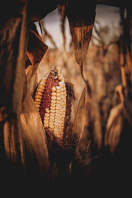 Photograph - Corn In A Field by Jeanette Fellows