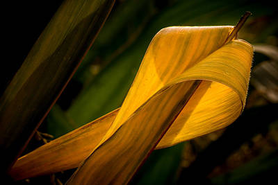 Corn Leaf Original