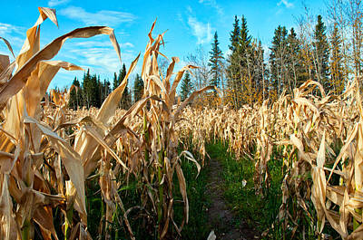 Photograph - Corn Maze 1 by Cathy Mahnke
