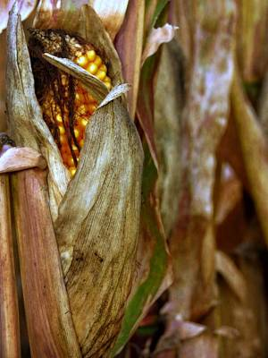 Photograph - Corn On The Stock by Kyle West