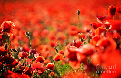 Photograph - Corn Poppies by Meirion Matthias