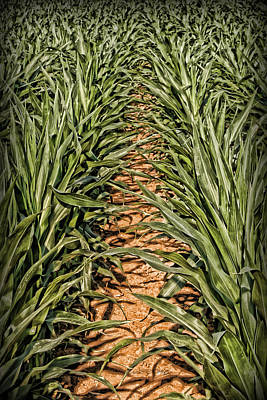 Photograph - Corn Row by Patricia Montgomery