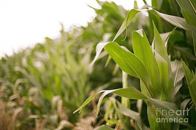 Photograph - Corn by Sandy Adams