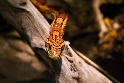 Photograph - Corn Snake Elaphe Guttata by Douglas Barnett