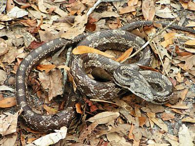 Photograph - Corn Snake - Rat Snake by rd Erickson