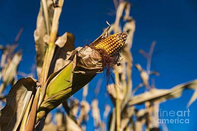 Photograph - Corn Stalk by Alissa Beth Photography