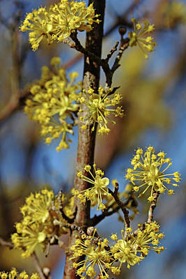 Photograph - Cornelian Cherry Blossoms by Debbie Oppermann