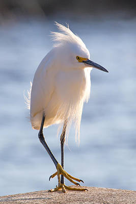 Wall Art - Photograph - Cornered Egret by Diana Marcoux