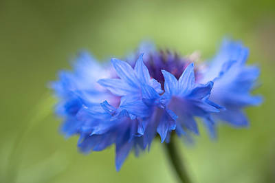 Photograph - Cornflower by Alexander Kunz