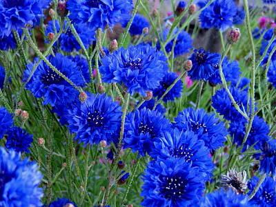 Photograph - Cornflower Blue by Larry Bacon