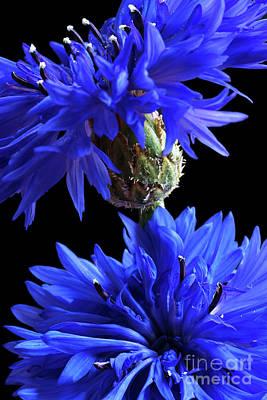 Centaurea Montana Photograph - Cornflower Blues by Ann Garrett