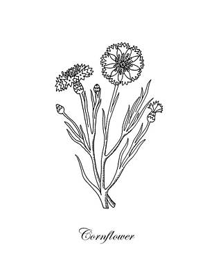 Drawing - Cornflower Botanical Drawing by Irina Sztukowski