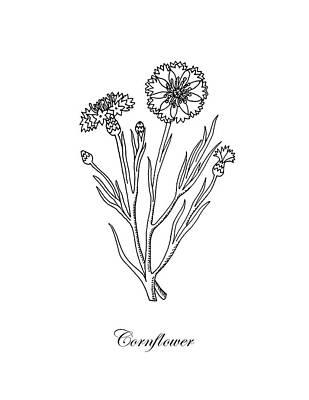 Floral Drawings - Cornflower Botanical Drawing by Irina Sztukowski