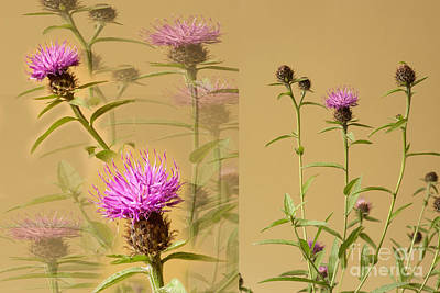 D700 Photograph - Cornflower Collage by Donald Davis