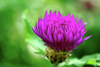 Photograph - Cornflower Fringe by Debbie Oppermann