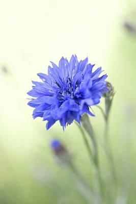 Cornflower Original