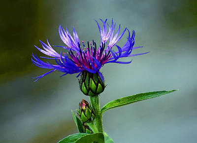 Photograph - Cornflower by Rodney Campbell