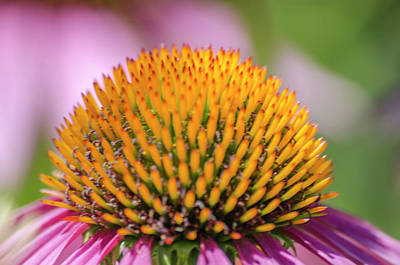 Photograph - Cone Flower Seed Head by Steven Brodhecker