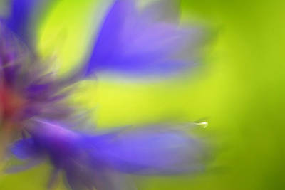 Flower Photograph - Cornflower by Silke Magino