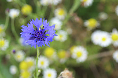 Photograph - Cornflower by Tony Serzin