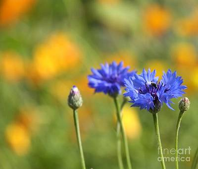 Photograph - Cornflowers -1- by Issabild -