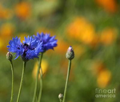 Photograph - Cornflowers -2- by Issabild -