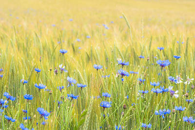 Photograph - Cornflowers by Alexander Kunz