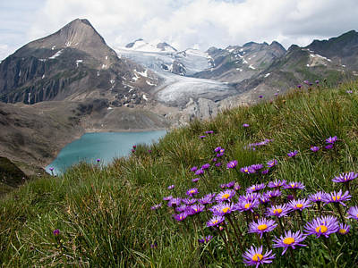 Asters Photograph - Corno Gries, Switzerland by Vito Guarino