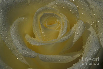 Photograph - Corralitos Rose by Stan and Anne Foster