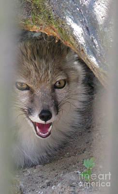 Photograph - Corsac Fox- Vulpes Corsac 01 by Ausra Huntington nee Paulauskaite