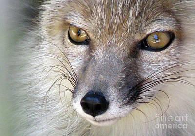 Photograph - Corsac Fox- Vulpes Corsac 02 by Ausra Huntington nee Paulauskaite