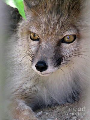 Photograph - Corsac Fox- Vulpes Corsac 03 by Ausra Huntington nee Paulauskaite