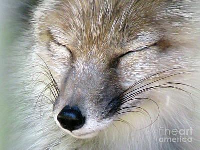Photograph - Corsac Fox- Vulpes Corsac 04 by Ausra Huntington nee Paulauskaite