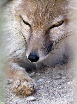 Photograph - Corsac Fox- Vulpes Corsac 05 by Ausra Huntington nee Paulauskaite