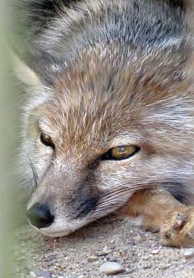Photograph - Corsac Fox- Vulpes Corsac 06 by Ausra Huntington nee Paulauskaite