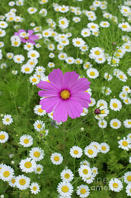 Photograph - Cosmos And Chamomile by Tim Gainey