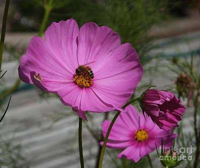 Photograph - Cosmos And The Bee by Lizi Beard-Ward