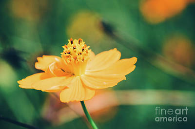 Photograph - Cosmos  by Andrea Anderegg