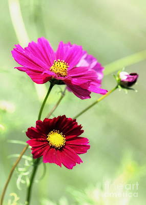 Photograph - Cosmos by Angela Rath