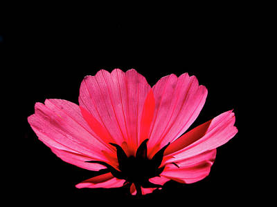 Photograph - Cosmos Bloom by Rod Stewart