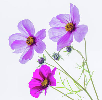 Photograph - Cosmos Bright by Diane Fifield