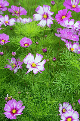Photograph - Cosmos Capriola by Tim Gainey