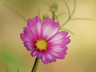 Photograph - Cosmos Daisy Floral by MTBobbins Photography