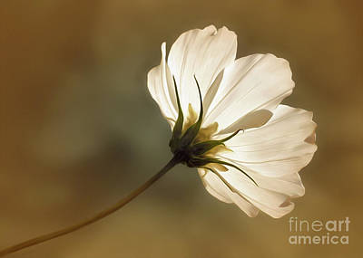 Photograph - Cosmos Filled With Sunshine          by Kaye Menner