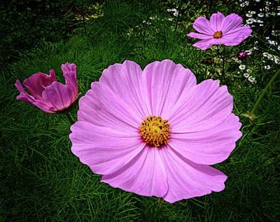 Photograph - Cosmos Flowers by Carolyn Derstine