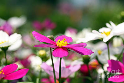 Photograph - Cosmos Flowers by Denise Pohl