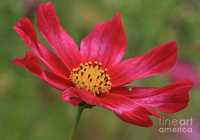 Yellow Photograph - Cosmos by Gary Wing