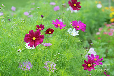 Asters Photograph - Cosmos Gazebo Flowers by Tim Gainey