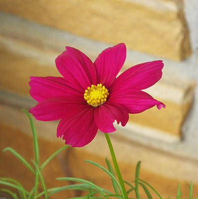 Photograph - Cosmos In Magenta by Lizi Beard-Ward
